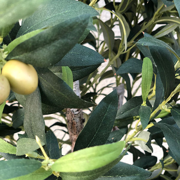medium olive tree outdoors