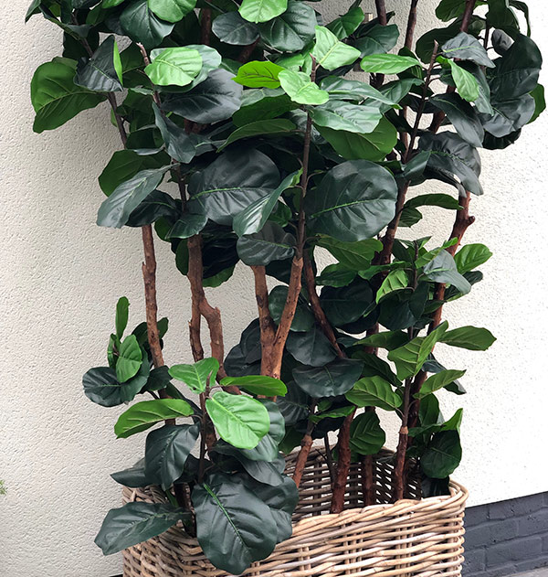 Faux Fiddle Plant to buy or hire from Twilight Living where you can bring Twilight Tree magic home. From artificial trees to our amazing biophilia design products. Click to find out more.